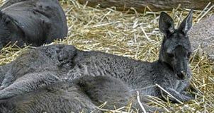 szary wschodniego kangur Fotografia Royalty Free