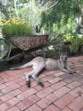 szary wschodniego kangur Fotografia Stock