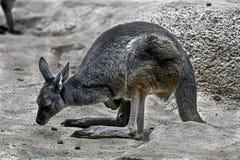 szary wschodniego kangur Obrazy Stock
