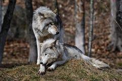 Szarych wilków pary zakończenie wpólnie zdjęcia royalty free