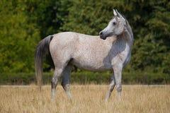 Szarzy arabscy konie Obraz Stock
