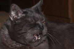 Szarzy brytyjscy kotów poziewania zdjęcie stock