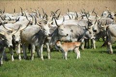 Szarzy cattles Fotografia Stock