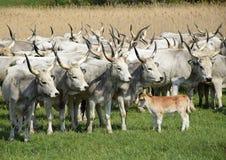 Szarzy cattles i młoda łydka Zdjęcia Royalty Free