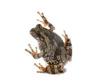 Szarzy drzewnej żaby Hyla chrysoscelis, versicolor Zdjęcia Royalty Free