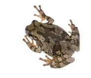 Szarzy drzewnej żaby Hyla chrysoscelis, versicolor/, przebrania lic Zdjęcia Royalty Free