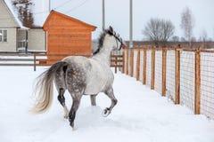 Szarzy koni spojrzenia przy wolnością Zdjęcia Royalty Free