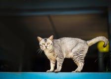 Szarzy kotów stojaki przy nadokiennym parapetem Zdjęcia Stock