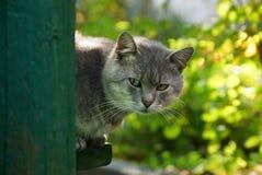 Szarzy kotów zerknięcia wokoło kąta ściana dom Zdjęcie Stock