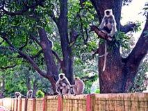 Szarzy langurs a K hanuman langurs w Rishikesh, India zdjęcie royalty free