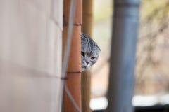 Szarzy owłoseni kotów zerknięcia wokoło kąta Zdjęcia Royalty Free