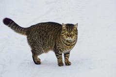 Szarzy tabby kota stojaki na śniegu na ulicie Zdjęcia Royalty Free
