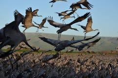 Szarzy żurawie Fotografia Royalty Free