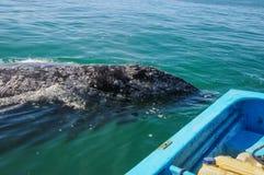 Szarzy wieloryby, Meksyk (Eschrichtius robustus) Zdjęcia Stock