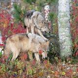 Szarzy wilki w jesieni położeniu Fotografia Royalty Free