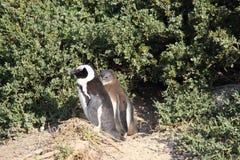 Szczęście I wchodni sposób życie pingwin Sunbatha fotografia stock
