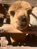 Szczęśliwa alpaga Peru Obraz Stock
