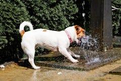 Szczęśliwa dźwigarka Russell łapie prysznic woda na letnim dniu fotografia stock