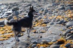 Szczęśliwa dźwigarka Russell bawić się na skalistej plaży fotografia stock