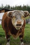 Szczęśliwa hereford krowa Zdjęcie Stock