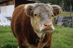 szczęśliwa Hertford krowa Fotografia Stock