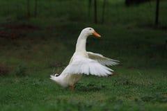 Szczęśliwa kaczka. zdjęcia stock