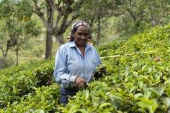 Szczęśliwa kobieta pracuje na herbacianej plantaci w Sri Lanka Fotografia Royalty Free