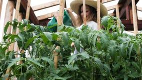 Szczęśliwa kobieta w słomianym kapeluszu i sukni nalewa uprawa pomidoru wodę od podlewanie puszki w łóżkach zbiory