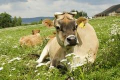 Szczęśliwa krowa Zdjęcia Stock