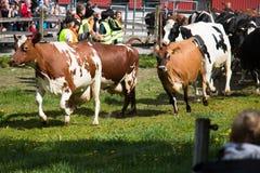 Szczęśliwa krowa obrazy stock