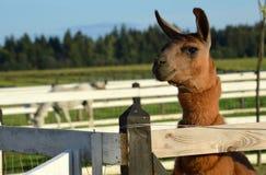 szczęśliwa lama Obraz Royalty Free