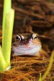 Szczęśliwa męska żaba (Rana temporaria) Zdjęcia Stock