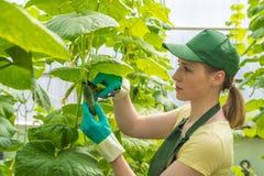 Szczęśliwa młoda kobieta w mundurze, cięcie świezi ogórki w szklarni Praca w szklarni obraz stock