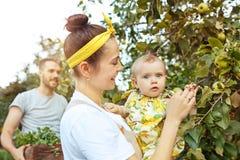 Szczęśliwa młoda rodzina podczas zrywań jabłek w ogródzie outdoors Obraz Stock
