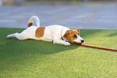 Szczęśliwa szczeniak dźwigarka Russell kłama z czerwoną arkaną na trawie obrazy stock