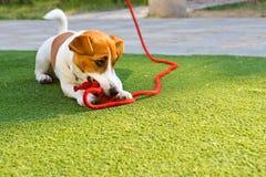 Szczęśliwa szczeniak dźwigarka Russell kłama z czerwoną arkaną na trawie fotografia stock