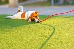 Szczęśliwa szczeniak dźwigarka Russell kłama z czerwoną arkaną na trawie obraz royalty free
