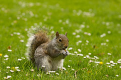 szczęśliwa wiewiórka Zdjęcie Stock