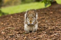 szczęśliwa wiewiórka Fotografia Royalty Free