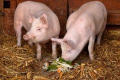 szczęśliwe świnie Obraz Stock