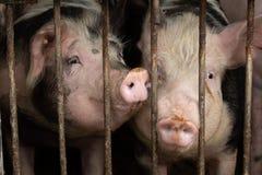 Szczęśliwe świnie za kratkami obraz royalty free