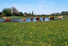 Szczęśliwe krowy Zdjęcie Stock