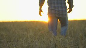 Szczęśliwego mężczyzna średniorolny odprowadzenie w pięknym dojrzałym pszenicznym polu przy zmierzchem lub wschodem słońca Męski  zdjęcie wideo