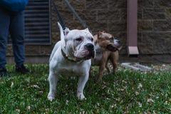 Szczęśliwi Amerykańscy łobuzów psy w wiośnie fotografia royalty free