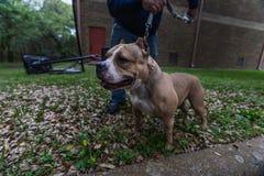 Szczęśliwi Amerykańscy łobuzów psy w wiośnie zdjęcia stock