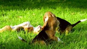 Szczęśliwi beagle psy w parku swobodny ruch zbiory wideo