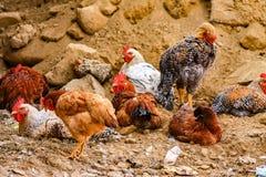 Szczęśliwi bezpłatni żywi kurczaki obrazy royalty free