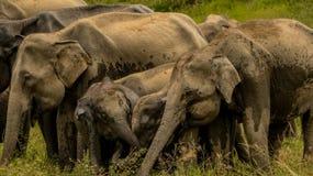 Szczęśliwi dziecko słonie z rodziną Obrazy Royalty Free