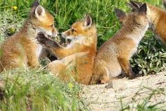 Szczęśliwi lisów lisiątka bawić się blisko meliny Obraz Stock