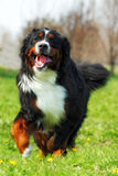 Szczęśliwi Piękni Bernese góry psa bieg są zabawą zdjęcie stock